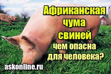 Картинка Африканская чума свиней – чем опасна для человека
