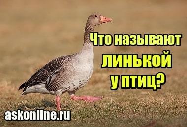 Фото Что называют линькой у птиц
